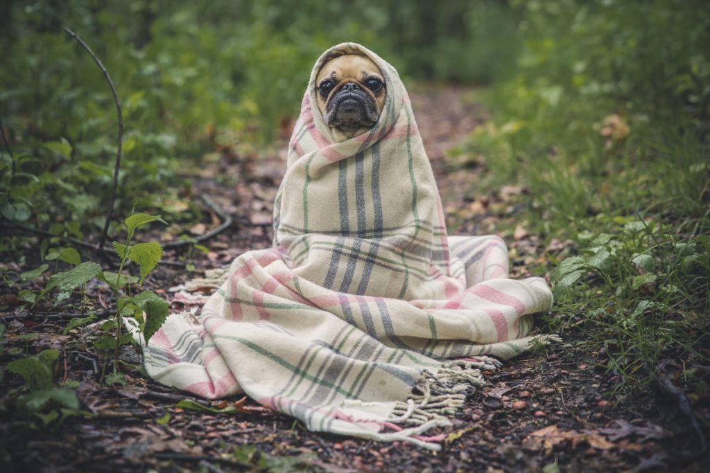 El perro pequeño se tapa con una manta por que esta refriado y tiene que cubrirse del frío.